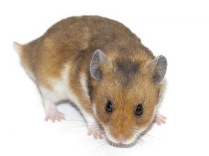 hamster-1596819_960_720