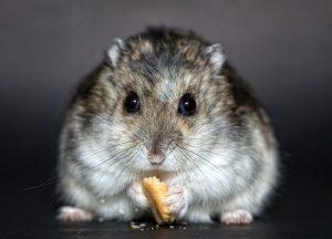 hamster-1772742_960_720