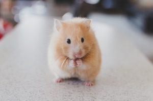 hamster-690108_960_720